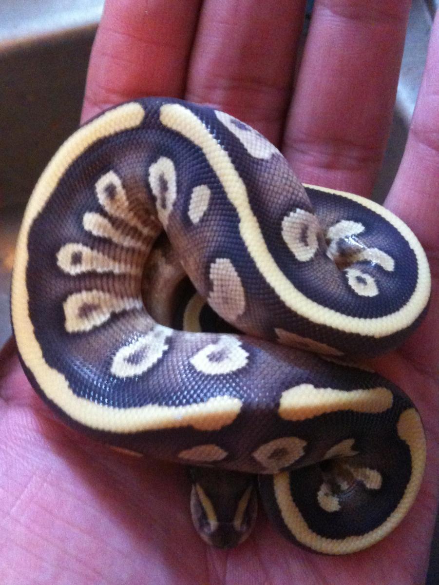 ball-pythons.net on reddit.com