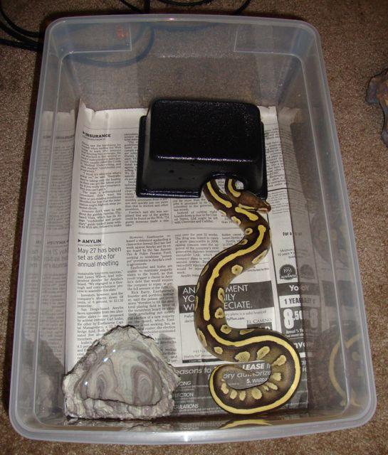 Baby Ball Python Shoe Box Setup