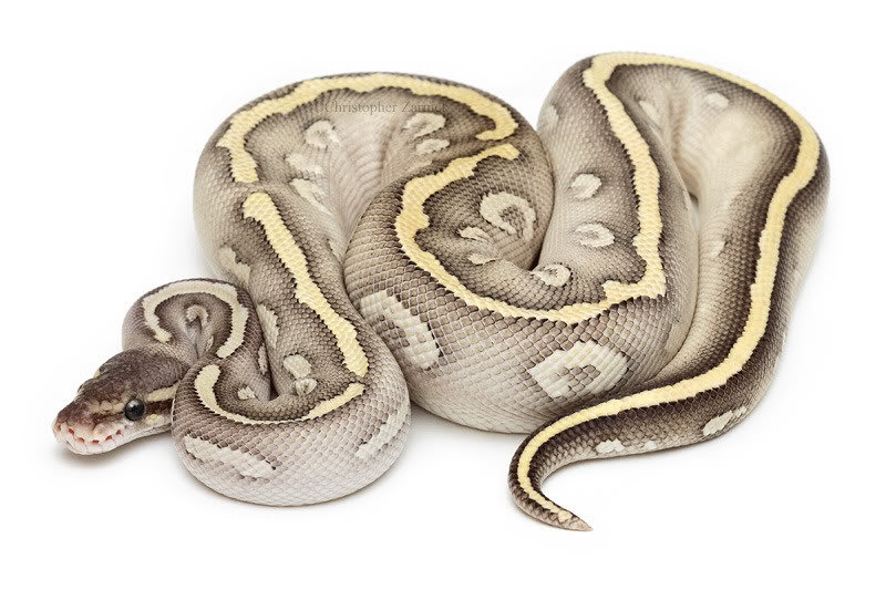 Lesser Bee Ball Python whats ur top 10 in bal...