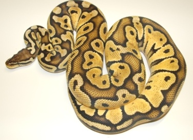:Corey Woods Reptiles: Currently Available